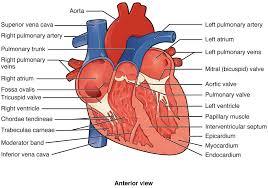 Cardiac Anatomy Chart Human Heart Label Diagram Human Heart Labeled Diagram