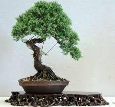 bonsai tree for office. fine bonsai they  for bonsai tree office