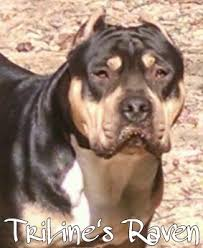 Tricolor In The American Bully Triline Kennels