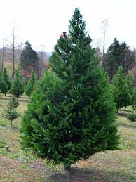 Find The Right Artificial Christmas Tree Size  Balsam HillTypes Of Fir Christmas Trees
