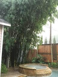 Houston bamboo annual maintence