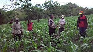 Pemupukan selama pertumbuhan, tanaman jagung manis membutuhkan ketersediaan. Cara Pemupukan Yang Baik Pada Tanaman Jagung Bisi Ii 03 Youtube