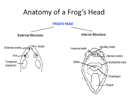 Parts Of A Frog Frog Body Parts And Functions Anatomy Of A Frogs Head Ppt Download