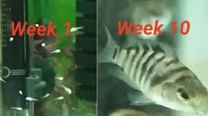 Convict Cichlid Fry Growing Up Week By Week Log
