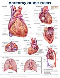 Laminated Anatomical Charts
