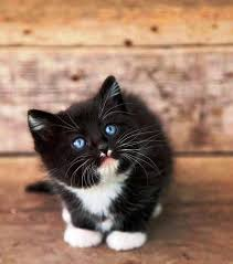 black cats with blue eyes and white paws. Fine Black Black Kittens With Blue Eyes And White Paws With Cats And Pinterest