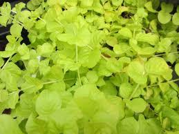 bedding plant lysimachia summerhill
