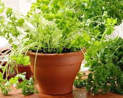Small Picture 12 Best Herbs to Grow Indoors Indoor Herbs Balcony Garden Web
