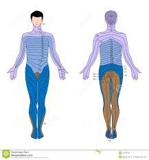 Dermatome Stock Vector Illustration Of Health Innervation