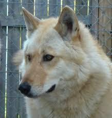 white german shepherd wolf mix puppy. Simple Puppy For White German Shepherd Wolf Mix Puppy P
