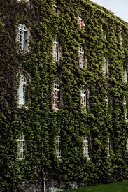 Ivy wall in Cambridge