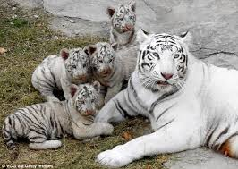 baby white tiger. Unique Tiger Bengal White Tiger Meng Gave Birth To The Quadruplets In August  Lianyungang Zoo On Baby White Tiger N
