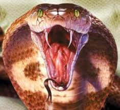 king cobra snake fangs. Unique Fangs King Cobra Fangs Throughout Cobra Snake Fangs U