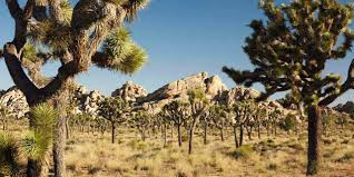 Image result for joshua tree