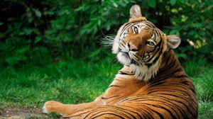 hd most beautiful tiger wallpapers hd wallpapers for pc mac laptop tablet mobile phone