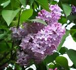 Images & Illustrations of common lilac