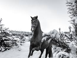 black horses in snow. Plain Horses Horse In The Snow  Snow Black And White Horse Animals Winter To Black Horses In Snow T