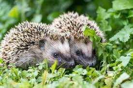 Image result for hedgehogs free images