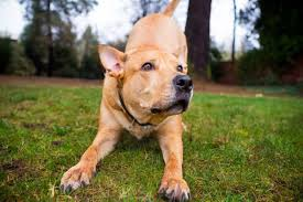 Pitbull Age Chart Why Is The Pitbull Lab Mix Aka Labrabull Such A Great Dog