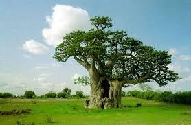 """Résultat de recherche d'images pour """"baobab arbre"""""""