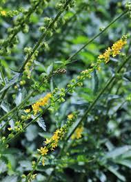 Agrimonia procera – Wikipédia, a enciclopédia livre