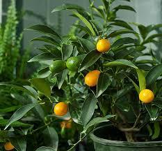 59 Best Kumquat Tree Not Bearing Fruit
