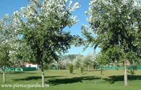 Populus alba, Álamo plateado o blanco, Chopo blanco | Plantas y Jardín