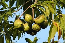 Diospyros Lotus Dateplum Caucasian PersimmonLotus Fruit Tree