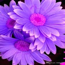 Image result for gerbera daisy