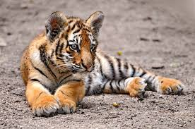 baby tigerbaby s most adorable baby s