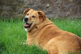 Is My Dog Overweight Calculator Barkercise