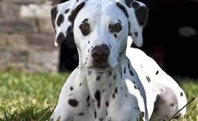 Dalmatian - a pretty spotted dog breed - K9 Research Lab