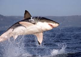 great white shark jumping. Fine Great Watching The Sharks Jump  Greatwhitesharkjumpinggreatwhiteshark Jumping Throughout Great White Shark Jumping J