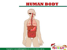 Organs In The Human Body Major Organs In Human Body
