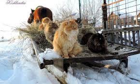 Kết quả hình ảnh cho nông dân mỹ nuôi mèo