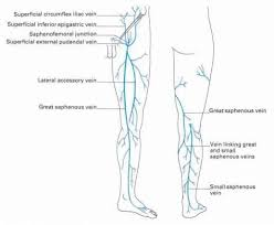 The Veins Of The Lower Limb Clinical Features Click To