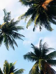 Download iphone palm tree wallpapers for free. 20 Palm Tree Pictures Hd Download Free Images On Unsplash