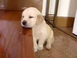 really cute golden retriever puppies sleeping. Delighful Really Cute Puppy Falling Asleep Golden Retriever Puppy Inside Really Retriever Puppies Sleeping A