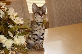 f2 savannah kittens for nj