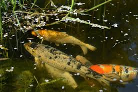 koi are at the top end of outdoor fish keeping you can spend as little as 20 for a japanese koi or as much as 5000 for a premium show winning 24 inch