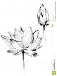 2 только нарисованного цветка лотоса иллюстрация штока иллюстрации