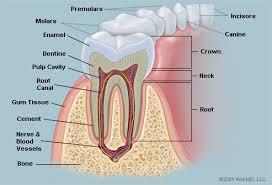 Diagram Of Human Teeth Reading Industrial Wiring Diagrams