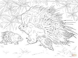 Small Picture African Crested Porcupine coloring page Free Printable Coloring