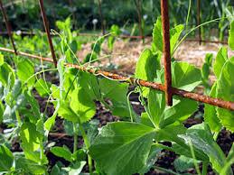 Garden Design Garden Design With Garden Wall Climbing Plant Climbing Plant Trellis