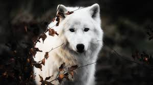 white wolf wallpaper.  Wolf WhiteWolfWallpapers 1jpg For White Wolf Wallpaper F