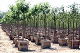 Bareroot Or Potgrown Fruit TreesPots For Fruit Trees