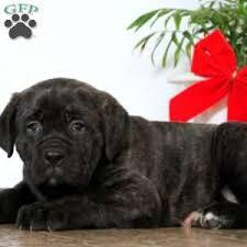 becca 1050 00 ronks pa cane corso puppy