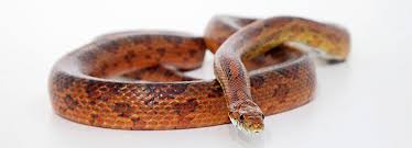 Corn Snake Care Advice On Feeding And Temperature Rspca