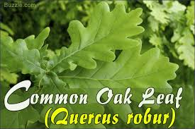 Oak Tree Comparison Chart Oak Tree Leaf Identification Has Never Been Easier Than This