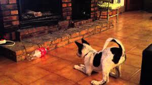 Canaan dog & coke bottle - YouTube